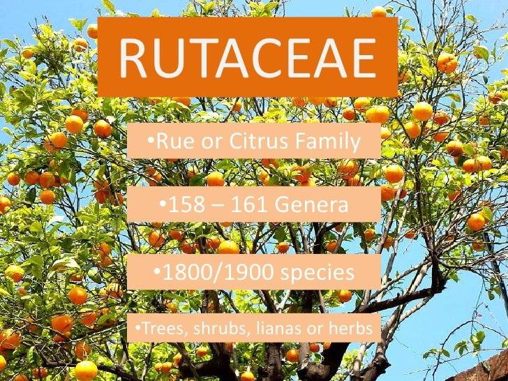 RUTACEAE<br /><ul><li>Rue or Citrus Family