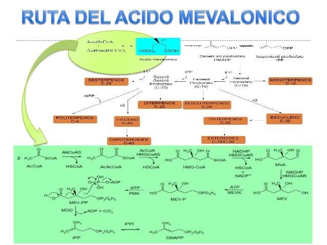Rutas del acido mevalonico Slide 2