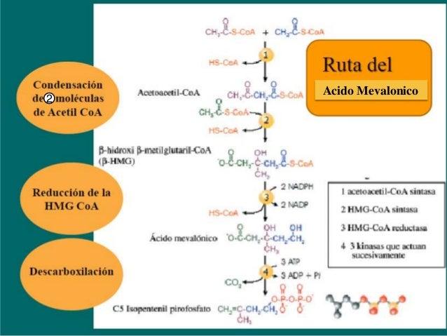 Rutas del acido mevalonico Slide 3