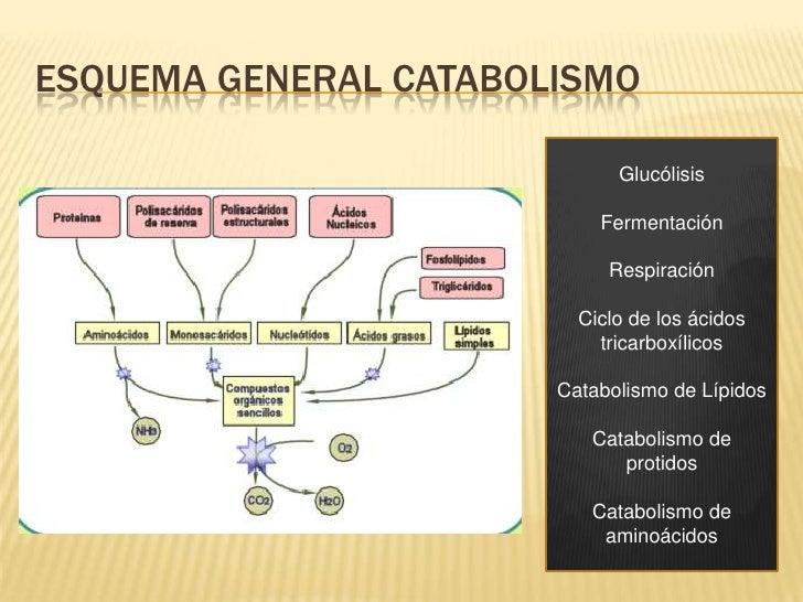 ruta anabolica concepto