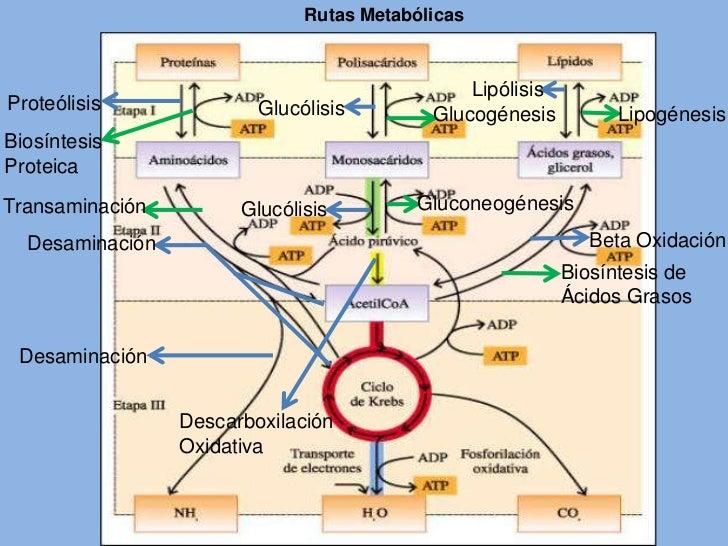 rutas anabolicas en los seres vivos