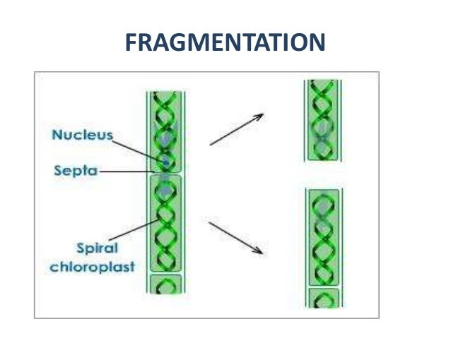 fragmentation-reproduction