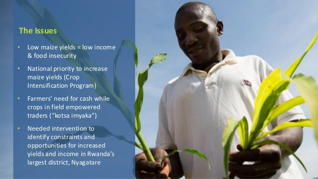 The Issues • Low maize yields = low income & food insecurity • National priority to increase maize yields (Crop Intensific...