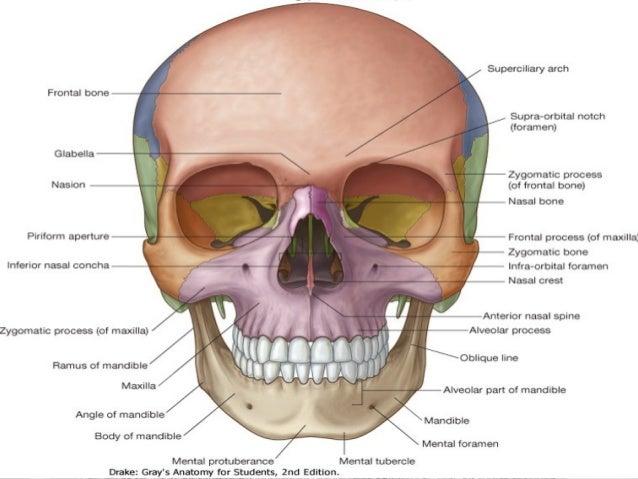 Anatomía Cráneo