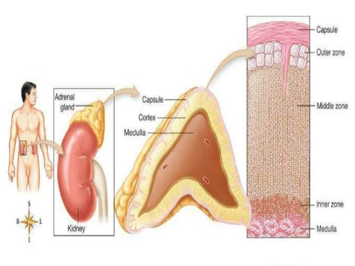 What is the function of the thymosin hormone?