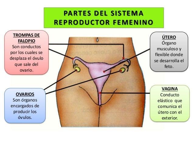 Resultado de imagen de aparato reproductor femenino para niños de primaria