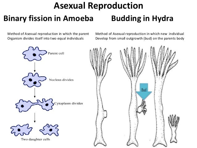 Amoebas asexual reproduction pictures