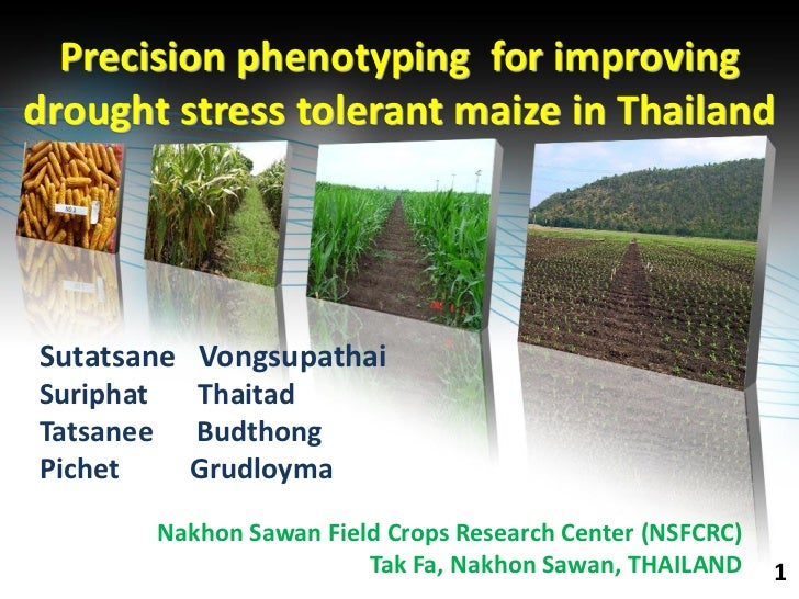 Precision phenotyping for improvingdrought stress tolerant maize in ThailandSutatsane VongsupathaiSuriphat     ThaitadTats...