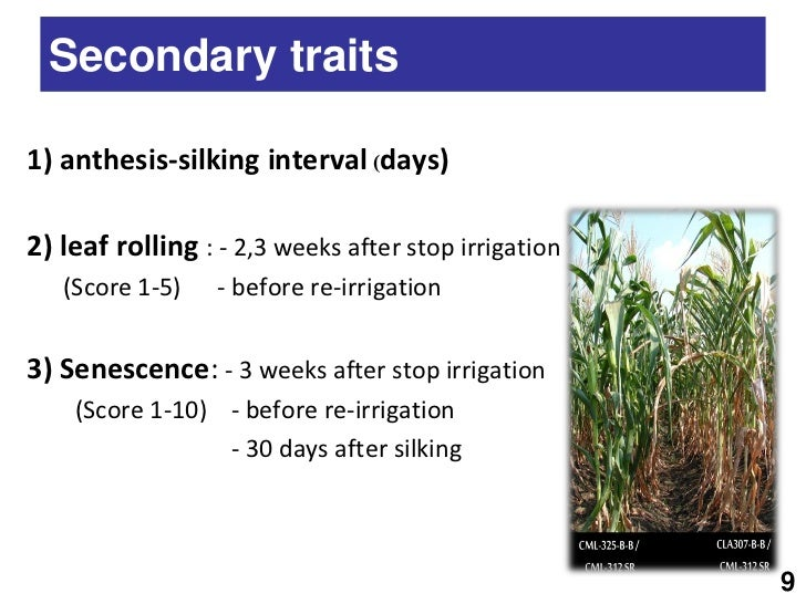 anthesis silking interval calculation Anthesis-silking interval (asi) was calculated as the difference between number of days to 50% silking and 50% anthesis under stress, some of the highly susceptible lines failed to reach 50% silking, resulting in barren plants.