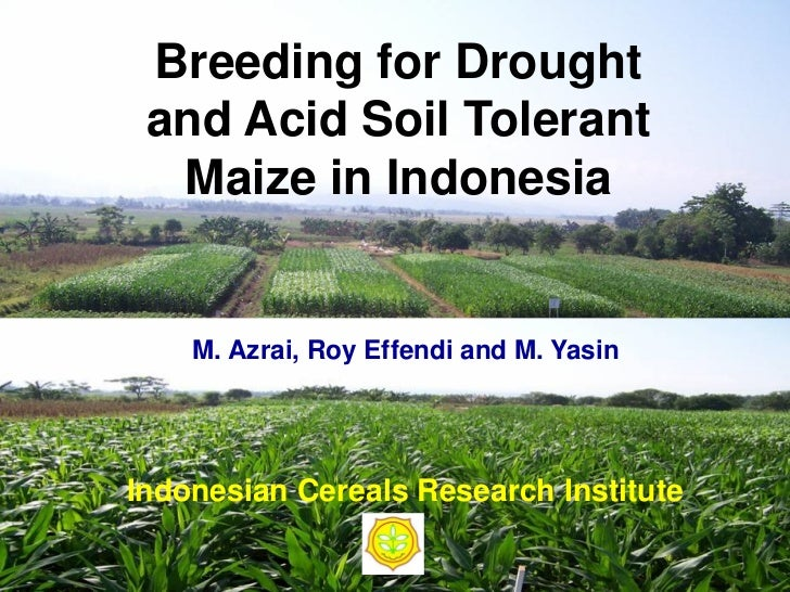 Breeding for Drought and Acid Soil Tolerant  Maize in Indonesia    M. Azrai, Roy Effendi and M. YasinIndonesian Cereals Re...