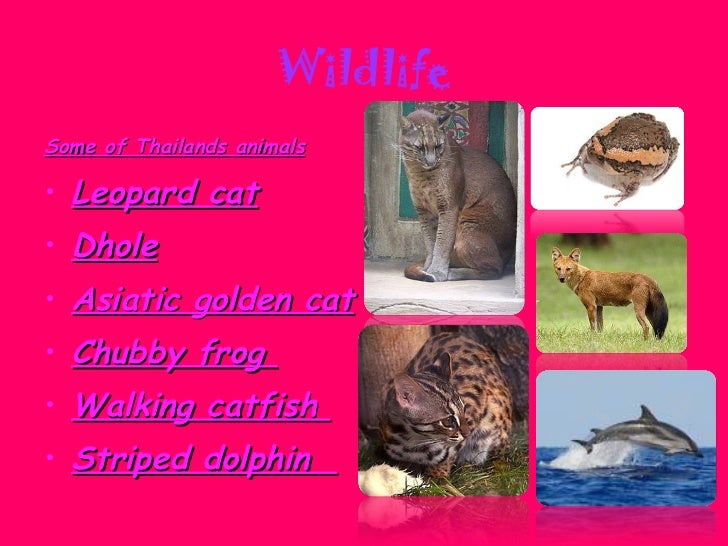 Wildlife <ul><li>Some of Thailands animals </li></ul><ul><li>Leopard cat </li></ul><ul><li>Dhole </li></ul><ul><li>Asiatic...