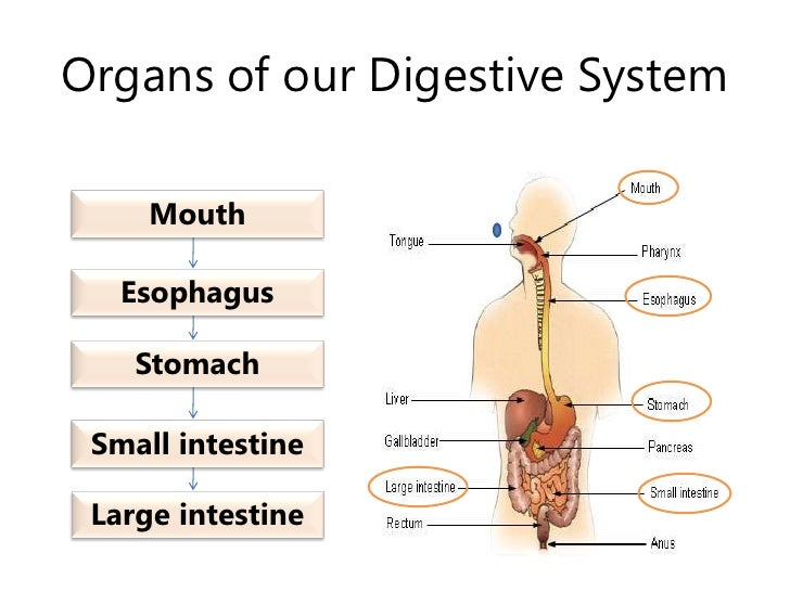 Organs of our Digestive System<br />Mouth<br />Esophagus<br />Stomach<br />Small intestine<br />Large intestine<br />