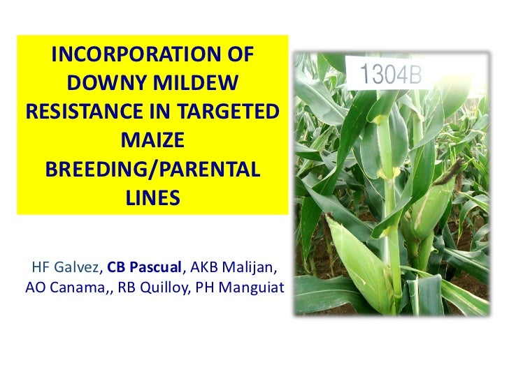INCORPORATION OF    DOWNY MILDEWRESISTANCE IN TARGETED        MAIZE  BREEDING/PARENTAL        LINES HF Galvez, CB Pascual,...