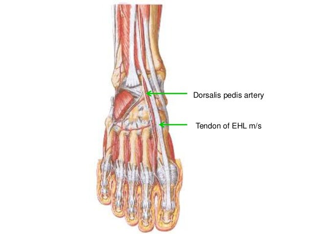 Blood Supply Of Lower Limb