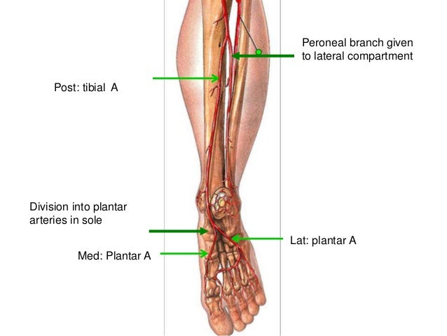 Blood Supply Of Lower Limb