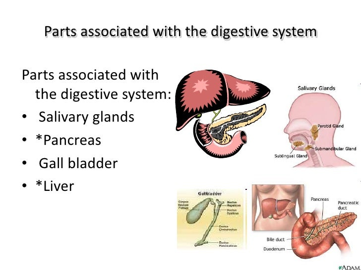 Parts associated with the digestive system<br />Parts associated with the digestive system: <br /> Salivary glands<br />*P...