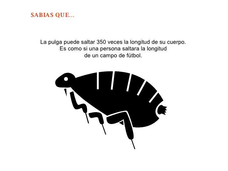 La pulga puede saltar 350 veces la longitud de su cuerpo.  Es como si una persona saltara la longitud  de un campo de fútb...