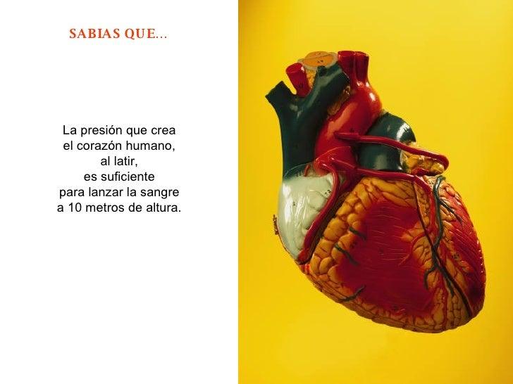 La presión que crea  el corazón humano,  al latir,  es suficiente  para lanzar la sangre  a 10 metros de altura.