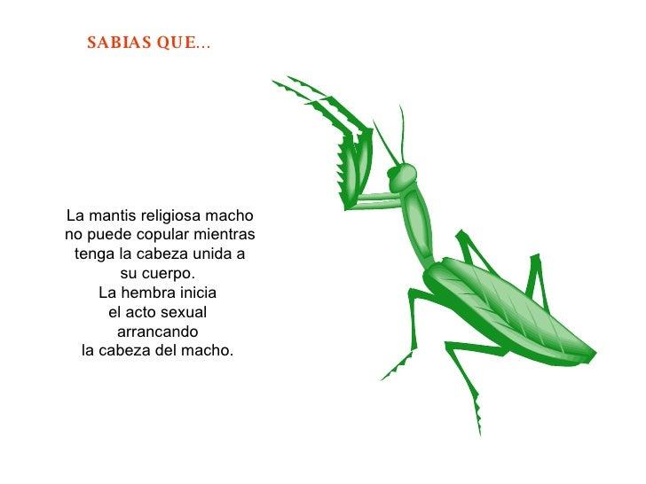 La mantis religiosa macho no puede copular mientras tenga la cabeza unida a su cuerpo.  La hembra inicia  el acto sexual  ...