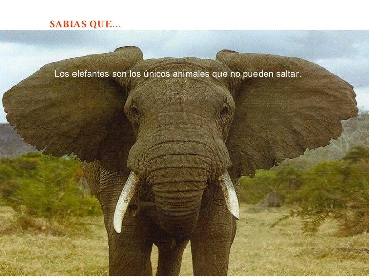 Los elefantes son los únicos animales que no pueden saltar.