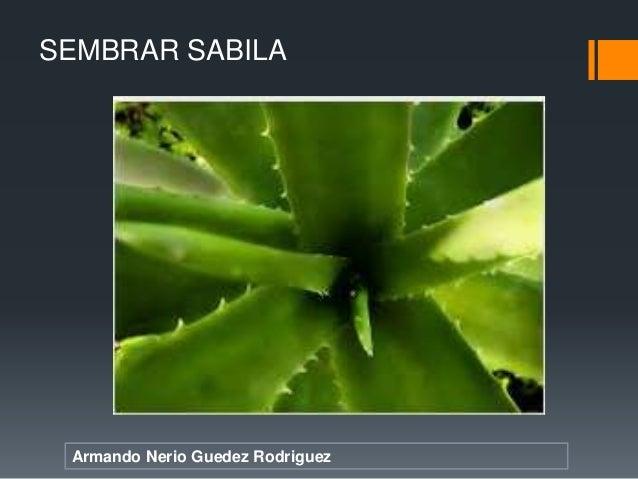 Armando Nerio Guedez Rodriguez SEMBRAR SABILA