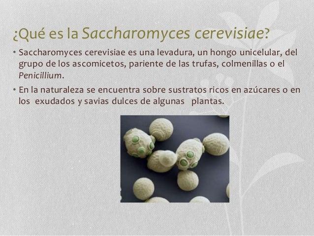 Resultado de imagen de saccharomyces cerevisiae morfologia