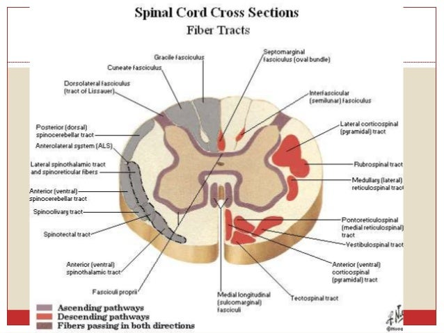 spinal cord anatomy and spinal cord syndromes