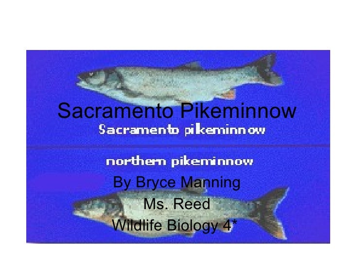 Sacramento Pikeminnow By Bryce Manning Ms. Reed Wildlife Biology 4*