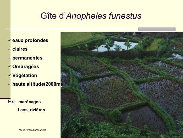 anopheles funestus - photo #32