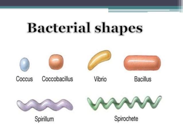 https://image.slidesharecdn.com/sakshisaxenasbsivbsbt301p2-150410121101-conversion-gate01/95/bacterial-morphology-5-638.jpg?cb=1428667920