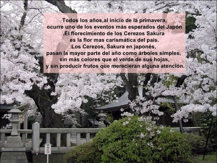 Todos los años,al inicio de la primavera, ocurre uno de los eventos más esperados del Japón .El florecimiento de los Cerez...