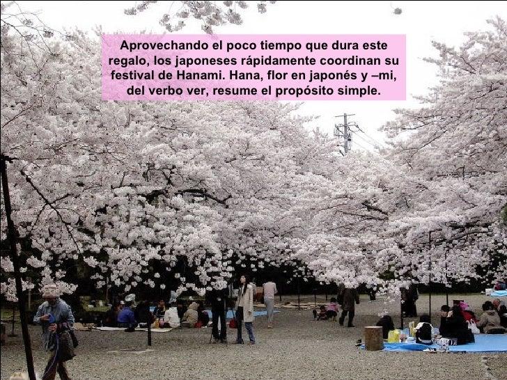 Aprovechando el poco tiempo que dura este regalo, los japoneses rápidamente coordinan su festival de Hanami. Hana, flor en...