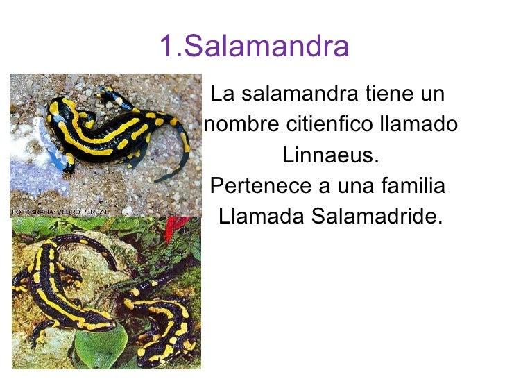 1.Salamandra La salamandra tiene un  nombre citienfico llamado Linnaeus. Pertenece a una familia  Llamada Salamadride.