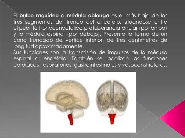 El bulbo raquídeo o médula oblonga es el más bajo de lostres segmentos del tronco del encéfalo, situándose entreel puente ...