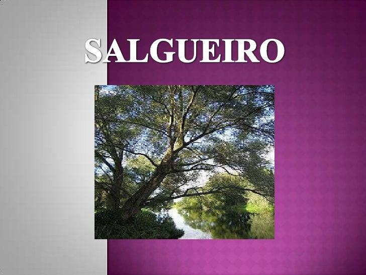Nome Científico: SALIX CINEREA