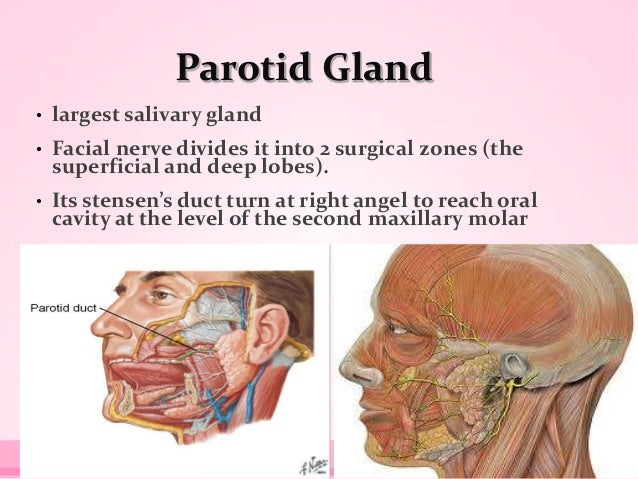 Parotid Gland • largest salivary gland • Facial nerve divides it into 2 surgical zones (the superficial and deep lobes). •...