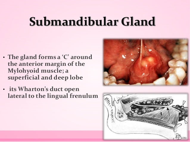 Submandibular Gland • The gland forms a 'C' around the anterior margin of the Mylohyoid muscle; a superficial and deep lob...