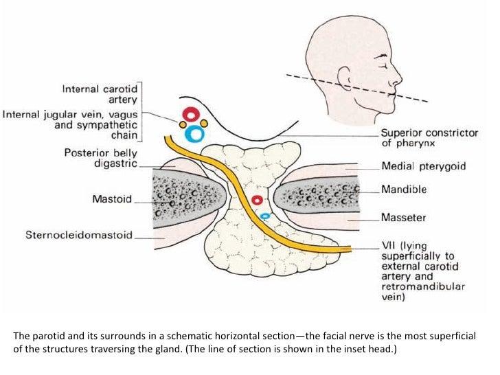 Submandibular Artery Images - Reverse Search