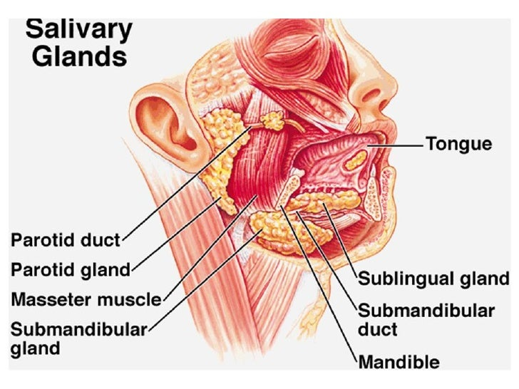 salivary glands, Skeleton