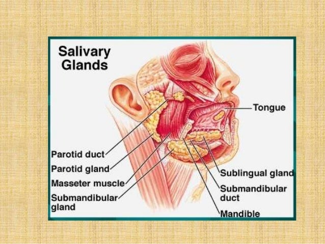 Salivary glands anatomy applied aspects 140608050047-phpapp01