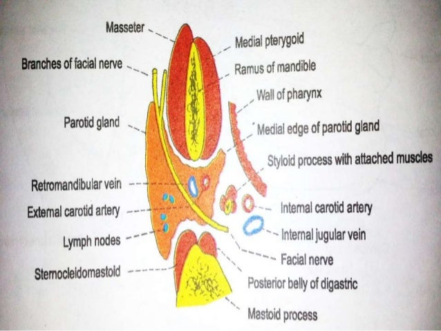 mastoid gland