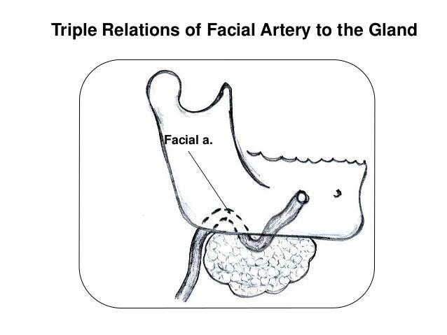 Salivary glands antomy