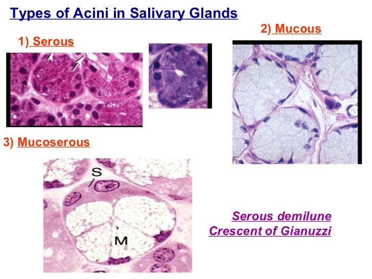 Types of Acini in Salivary Glands 1)  Serous 2)  Mucous 3)  Mucoserous   Serous demilune Crescent of Gianuzzi