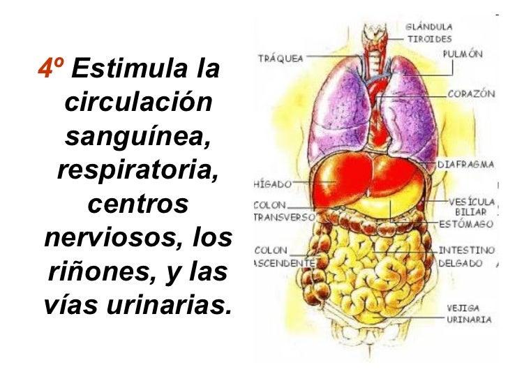 4º Estimula la   circulación   sanguínea,  respiratoria,     centrosnerviosos, los riñones, y lasvías urinarias.