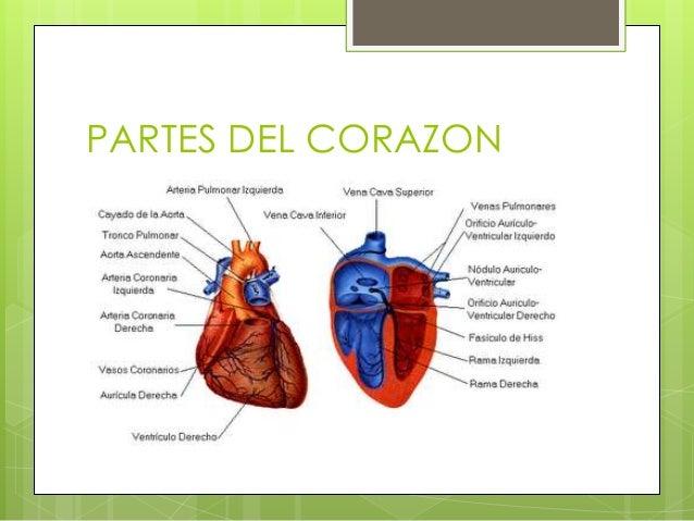 extrandai blog archive partes del corazon humano y sus funciones