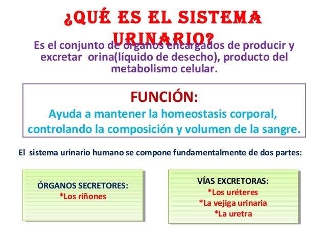 Bonito Tracto Urinario Humano Y El Riñón De Hoja De Cálculo ...