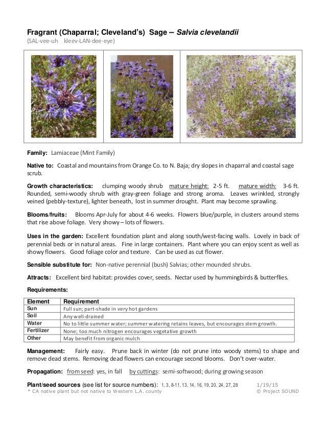 Fragrant (Chaparral; Cleveland's) Sage – Salvia clevelandii (SAL-vee-uh kleev-LAN-dee-eye) Family: Lamiaceae (Mint Family)...
