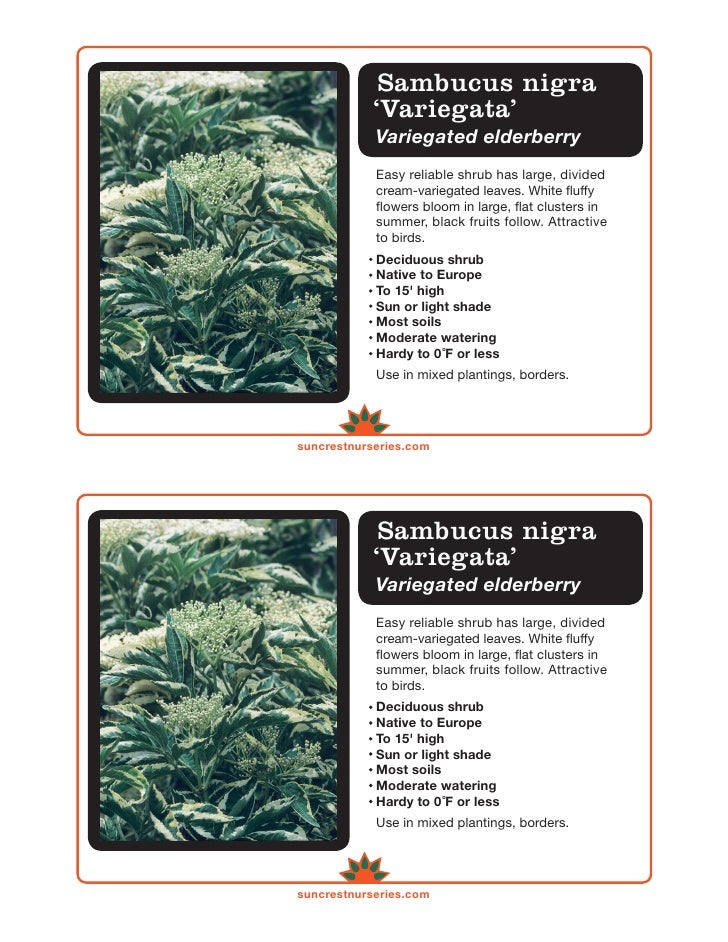 Sambucus nigra            'Variegata'            Variegated elderberry            Easy reliable shrub has large, divided  ...