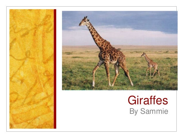 GiraffesBy Sammie