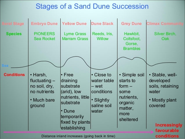geography coursework sand dunes Sand dune succession coursework aim: the aim of this experiment is to  discover how the ph value and the humus value of soil samples collected along  a 600.